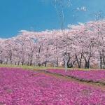 桜2015年の開花予想とは?例年より早い?日本一の桜の名所とは?