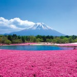 【お花見】富士芝桜まつり2015年の見頃な時期や混雑・渋滞予想とは?