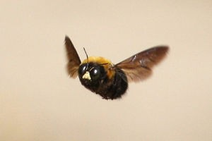 クマバチの画像 p1_1